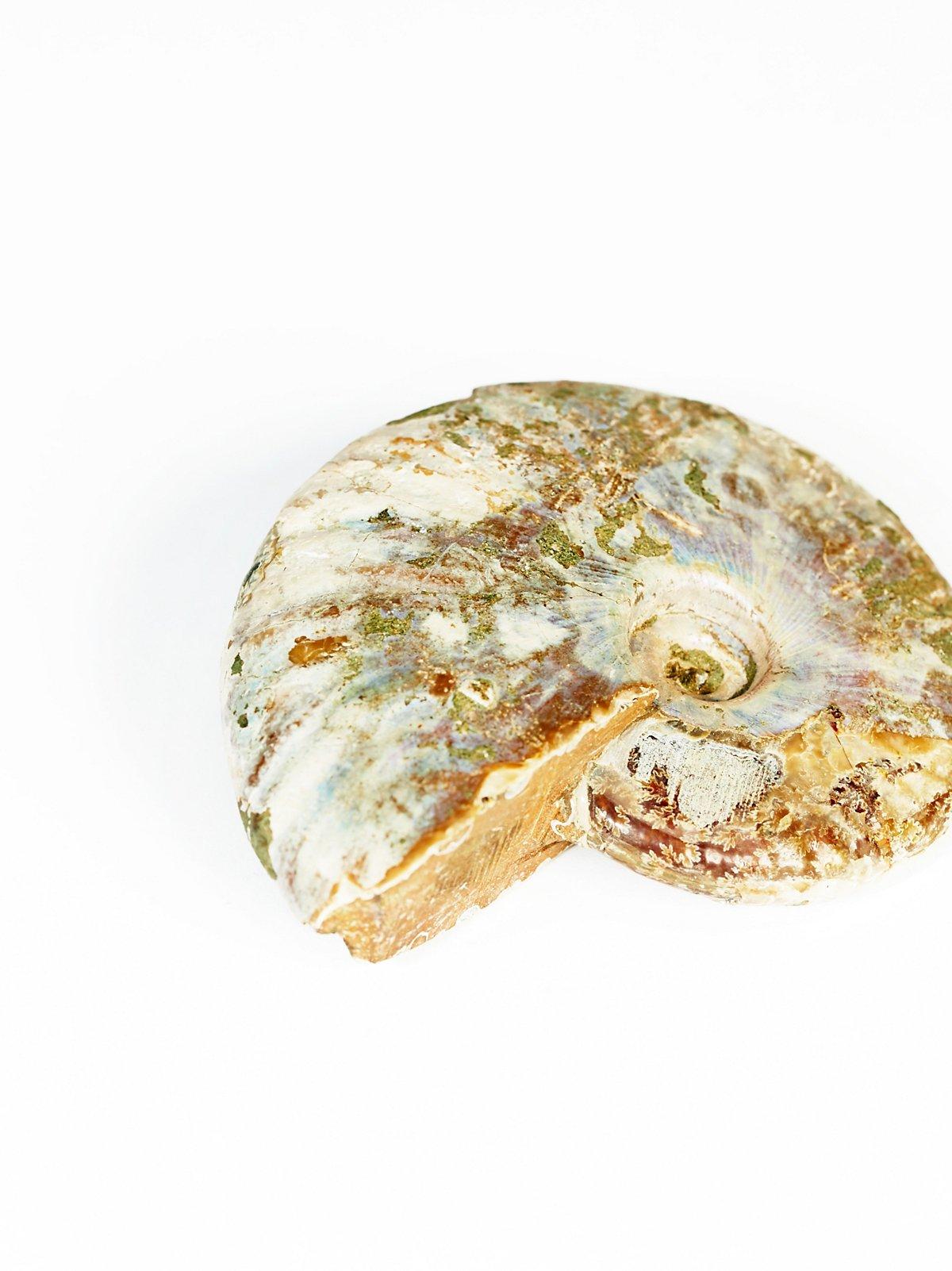 Vintage Ammonite Fossil